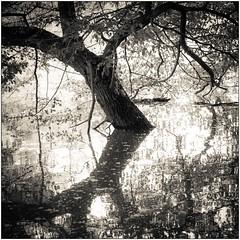 High Water (BerndDaub) Tags: trees blackandwhite tree nature natur schwarzweiss bume baum hightwater hochwasser