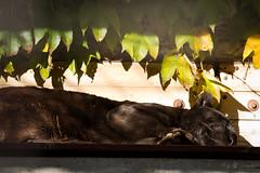 sleeping beauty (Cloudtail the Snow Leopard) Tags: wilhelma stuttgart zoo tier animal säugetier mammal katze cat bigcat raubkatze groskatze petra jaguar schwarz black melanismus panthera onca female pantera flickrbigcats cloudtailthesnowleopard