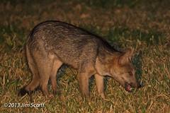 Crab-eating Fox (Jim Scarff) Tags: brazil miranda mammals matogrossodosul carnivores carnivora canids crabeatingfox cerdocyonthous