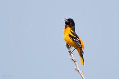 _53F9072 Baltimore Oriole (~ Michaela Sagatova ~) Tags: spring dundas baltimoreoriole icterusgalbula insong vocalizing orangebird dvca michaelasagatova