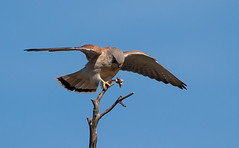 Nankeen Kestrel (Falco cenchroides)-1 (rawshorty) Tags: birds australia canberra act jerrabomberrawetlands rawshorty