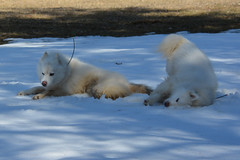 """Chase & Jag Imitating Each Other On A SNOW ROLL  22 • <a style=""""font-size:0.8em;"""" href=""""http://www.flickr.com/photos/96196263@N07/14213218892/"""" target=""""_blank"""">View on Flickr</a>"""