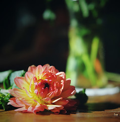 the detailed dahlia, part one (manyfires) Tags: dahlia summer flower macro film closeup analog mediumformat square table blossom details hasselblad bloom vase windowlight hasselblad500cm proxar floralscape