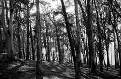 hide and seek (Super G) Tags: california trees 2 blackandwhite bw film bay unitedstates backlit sanmateo selfdeveloped kodaktmax100 olympusom4 d7695mins68d11 14514om4