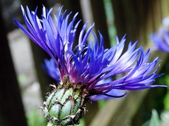 Centaurea 'montana' (chris p-w) Tags: blue flickrsfantasticflowers