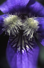 violet's last stand (3.5x) (jlodder) Tags: chicago film 35mm canon iso100 us illinois unitedstates kodak violets newf1 2014 ektar 35x gammaimaging macrophotolens20mmf35