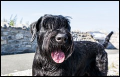 a hot dog..... (bevscwelsh) Tags: dog black hot color colour tongue beard hotdog natural gorgeous tail explore pant giantschnauzer colorversion sonye1855 sonynex6