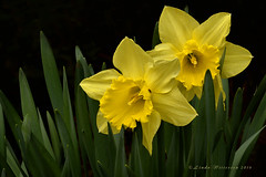 Daffodils (Lindaw9) Tags: ontario macro green leaves yellow bug spring northern daffodils narcissus 105mmlens nikond7100