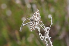 Common Heath Moth (female) (Dr Wood's Wildlife Photos) Tags: moth geometridae benlawers commonheath ematurgaatomaria heidespanner gewoneheispanner lyngmåler phalènepicotée metsämittari farfallastriata ängsmätare