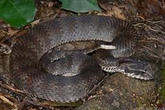 Southern Death Adder (Acanthophis antarcticus) (shaneblackfnq) Tags: death snake southern adder venomous bellingen acanthophis antarcticus shaneblack elapid