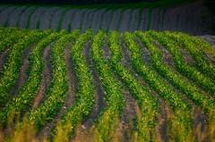 maize (Explore) (paul noble photography) Tags: paul evening corn nikon farm farming maine images explore rows agriculture goldenhour noble cornrow d7000 paulnobleimages
