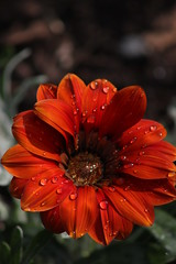 Droplets (historygradguy (jobhunting)) Tags: orange plant ny newyork flower water droplets site drops upstate roosevelt historic national hydepark dutchesscounty hudsonvalley fdrhomefranklin