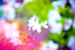 Little flower in Ashikaga flower park, Japan (Thomo13) Tags: