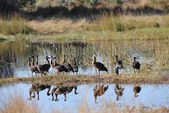 10073178 (wolfgangkaehler) Tags: africa family bird water reflecting geese african wildlife goose swamp botswana okavango southernafrica okavangodelta chitabe spurwingedgoose okavangodeltabotswana spurwingedgooseplectropterusgambensis