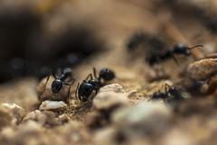 Ants (S_Crews) Tags: california insect ant arthropod californiacity hymenoptera formicidae kerncounty messor harvesterant deserttortoisenaturalarea messorpergandei veromessor