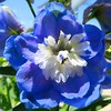Blue Delphinium (Bunny8907) Tags: blue ohio summer plant flower nature garden flora purple blossom bloom delphinium