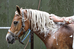 Pret met sarah (gill4kleuren - 13 ml views) Tags: horse me sarah hair fun gill washing saar paard haflinger