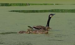 Canada Goose with Adopted Family (Bonnie Ott) Tags: canadagoose mallard duck goose chenrossii bonniecoatesott