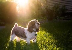 Ollie the Wonder Beagle (blacksheep_vmf214) Tags: light sunset dog sun beagle dawg grass canon wonder bokeh bugs ollie rim backlighting