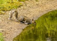 Topping Up (Triker-Sticks) Tags: nature water grey rodent squirrel wildlife sandy drinking bedfordshire reserve greysquirrel thelodge rspb wildlifewednesday copyrightpwinterford2014