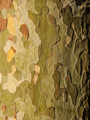 Plane tree (Tomas Burian) Tags: wood trees england plants plant detail tree green nature plane nikon image woody bark planes trunk platanus plantae sycamores d90 nikor