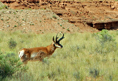 Pronghorn in Cathedral Valley, 27 June 2014 (2) (Bob Palin) Tags: usa southwest animal 1025fav 510fav utah nationalpark desert wildlife 100v10f antelope capitolreef pronghorn cathedralvalley 100vistas instantfave canonef24105mmf4lisusm canoneos60d orig:file=2014062718482adjust1500