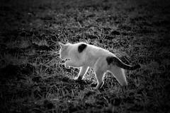 stray cat shining (zbackkcabz) Tags: cute nature beautiful animal cat mono amazing cool awesome scene shining bnw straycat