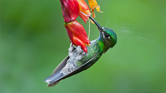 Green-crowned Brilliant (Raymond J Barlow) Tags: travel red green bird nature hummingbird phototours raymondbarlowtours