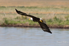 Eastern Colorado Bald Eagle Launch Sequence