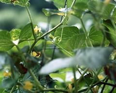 Cucumber (jbhalper) Tags: flowers flower film home water leaves analog garden droplets kodak cucumber vine stems 4x5 100 coil coils tendrils ektar homedeveloped gowlandflex petioles
