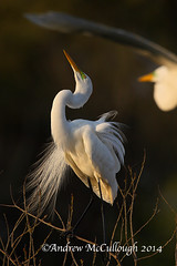 Displaying Egret (Let there be light (A.J. McCullough)) Tags: birds texas egret highisland texasbirds featheryfriday highislandtexas houstonaudubon smithoaksrookery smithoaks