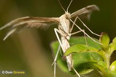 Plume Moth (Dom Greves) Tags: uk summer insect wildlife moth july surrey lepidoptera grassland invertebrate whiteplumemoth pterophoruspentadactyla