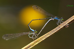 Heart of Love (bug eye :) Thailand) Tags: macro nature closeup forest canon bug insect thailand pond rainforest stream natural dragonfly wildlife tropical mating chiangmai oriental damselfly bugeye macro100mm