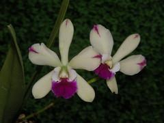 Epicattleya El Hatillo 'Santa Maria' (fedorchids) Tags: santa maria el epicattleya hatillo
