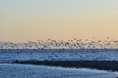 Seagulls at sunset (kimxo) Tags: ocean sunset seagulls mountains westcoast