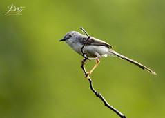 Graceful Prinia (Joybroto Dass) Tags: wild india bird nature beautiful birds animal animals forest photography living raw wildlife jungle species wilderness creature untamed
