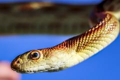 Gopher Snake (M$ingh.) Tags: ohio nature animals fauna canon reptile snake wildlife pawpawfestival eosrebel zoology herpetology gophersnake canont4i