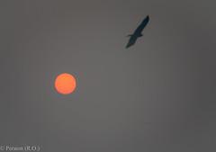 January Sun in Delhi, India (Peraion) Tags: sky orange sun india birds ball delhi