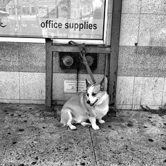 Beverley Road (AMRosario) Tags: nyc blackandwhite dog brooklyn streetphotography streetphoto kensington newyorkers