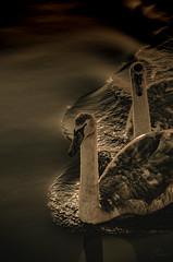 Liquid black (Coisroux) Tags: artistic blackness darkness cygnets atristic water reflections floating gliding d5500 nikond luminescence glimmer shadows swans swimming birdlife monochromia