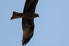 _F0A6751.jpg (Kico Lopez) Tags: galicia lugo milanonegro milvusmigrans miño spain aves birds rio