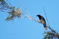La Piapia (Roberto Segura) Tags: piapia urraca parda brown jay psilorhinus morio bird birding birdwatching birds costarica pentax ks2