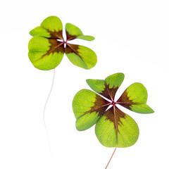 Four-Leaf Clover (Djiezes Kraaist) Tags: fourleafclover vierblättrigekleeblatt quadrifoglio trèfleàquatrefeuilles klavertje vier 4 klaver