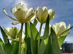 Sunny (ottra) Tags: tulpen sunbathing sunshine afternoon sunny lucid light