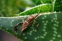 Ugly Brown Bug (Jim Atkins Sr) Tags: leaffootedbug leptoglossusphyllopus insect bug brownbug sonyphotographing sonya58 sony fairfieldharbour northcarolina cactus