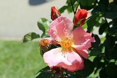Maig_1422 (Joanbrebo) Tags: park parque parc parccervantes 16èconcursinternacionalderosesnovesdebarcelona barcelona blumen blossom garden jardí jardín flors flores flowers fiori fleur canoneos70d efs18135mmf3556is eosd autofocus