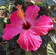 005e ~ Hibiscus (BDC Photography) Tags: pipecreek texas usa hibiscus flowers apple iphonese