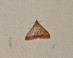5053 Pyrausta pseudonythesalis, Moth (tripp.davenport) Tags: uvaldecounty tx uvalde lepidoptera moth pyraustapseudonythesalis 5053