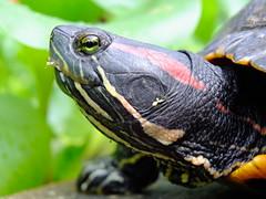 Rotwangen-Schmuckschildkröte Trachemys scripta elegans (Robert S. aus W.) Tags: schmuckschildkröte reptilien europäische gemeinschaft eg südeuropa invasiv