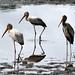 IMG_5001 - Yellow-billed Storks Start GPS #385